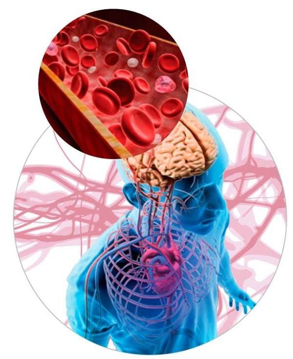 Кислород поступает в организм благодаря кровеносным сосудам