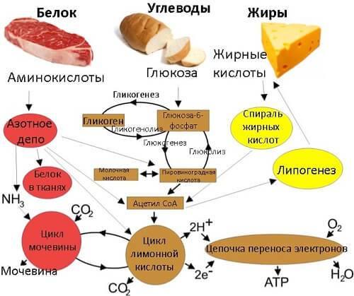 разогнать метаболизм