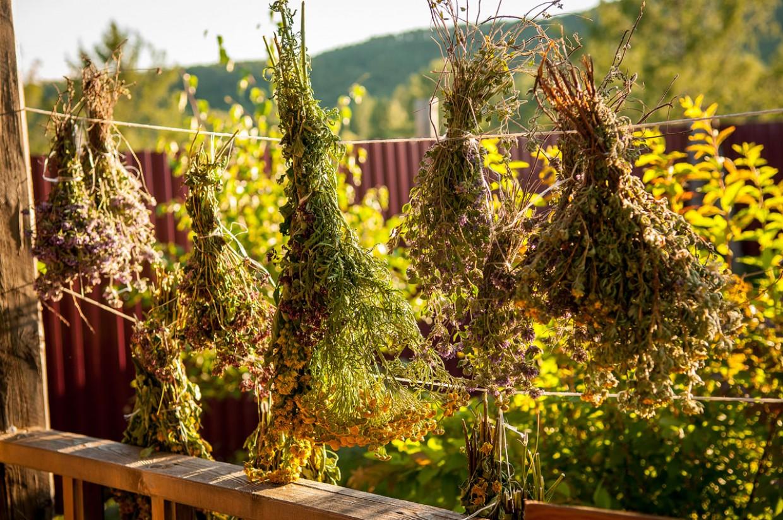 полезные алтайские растения