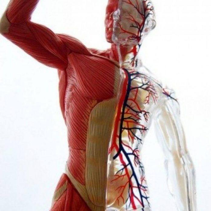 мышечный тонус физиология