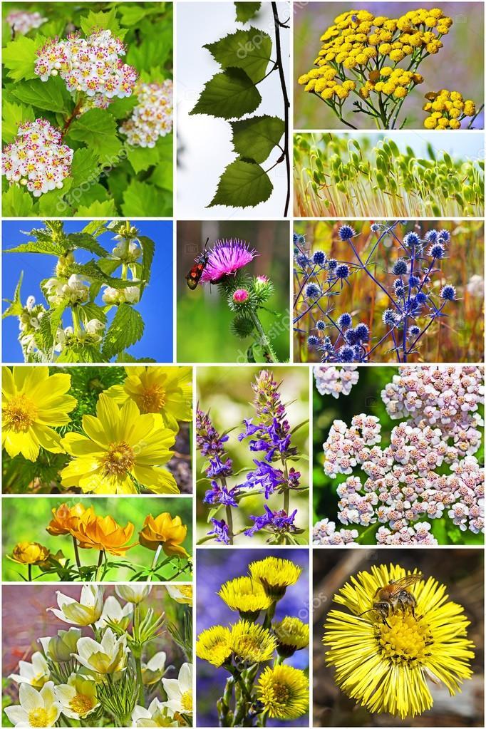 что такое дикорастущие лекарственные растения