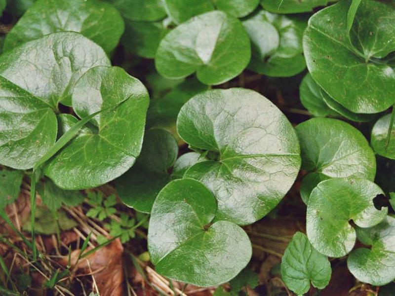 лекарственные сборы дикорастущих растений